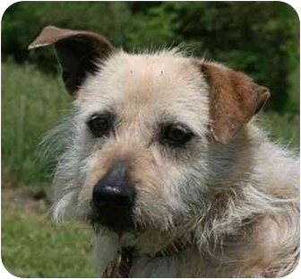 Cairn Terrier/Wirehaired Fox Terrier Mix Dog for adoption in Flint, Michigan - Susie