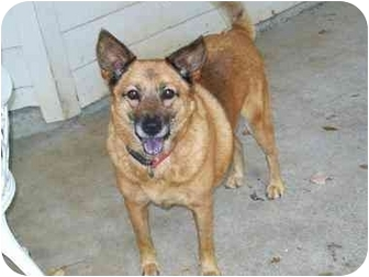 Chow Chow/Shepherd (Unknown Type) Mix Dog for adoption in Portland, Maine - Princess (I'm in New England!)