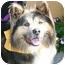 Photo 1 - Keeshond Mix Dog for adoption in Berkeley, California - Fargo