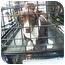 Photo 1 - Dachshund/Pit Bull Terrier Mix Dog for adoption in Provo, Utah - ZIPPER