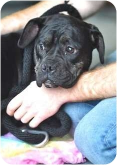 Boxer Mix Puppy for adoption in Manchester, New Hampshire - Blankie