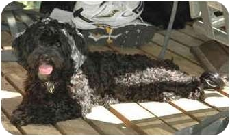 Lhasa Apso/Poodle (Standard) Mix Dog for adoption in Portland, Oregon - Onyx