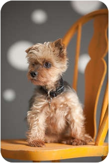 Yorkie, Yorkshire Terrier Dog for adoption in Portland, Oregon - Macy
