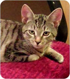 Domestic Shorthair Kitten for adoption in N. Billerica, Massachusetts - Gunny