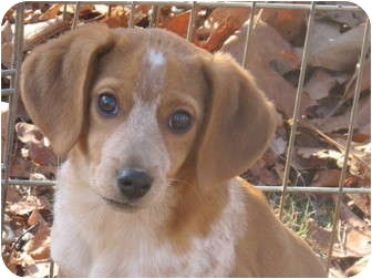 Beagle Mix Puppy for adoption in Allentown, Pennsylvania - Little Katie