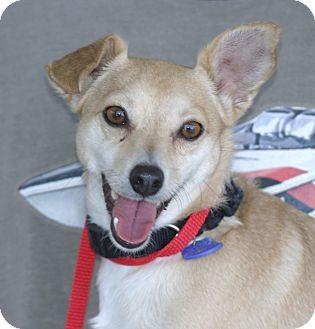 Shiba Inu/Chihuahua Mix Dog for adoption in Santa Ana, California - Poppy