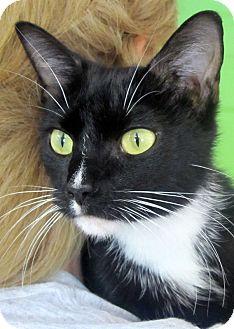 Domestic Shorthair Kitten for adoption in Marseilles, Illinois - Luna