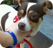 Chihuahua Dog for adoption in St. Petersburg, Florida - Melody