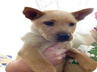 Shepherd (Unknown Type) Mix Puppy for adoption in Las Vegas, Nevada - Reagan