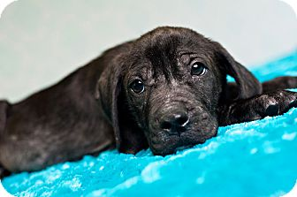 Hound (Unknown Type) Mix Puppy for adoption in Houston, Texas - Old Dan