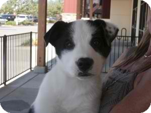 Australian Shepherd Mix Dog for adoption in Anza, California - Aussie Pup