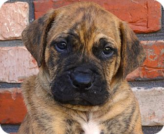 Mastiff/Boxer Mix Puppy for adoption in Westport, Connecticut - *Diesel - PENDING