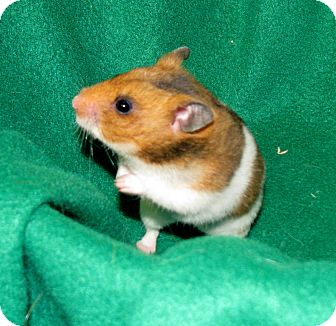 Hamster for adoption in Lewisville, Texas - Charlotte