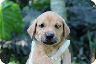Labrador Retriever/Rottweiler Mix Puppy for adoption in Homestead, Florida - Sam - Frances