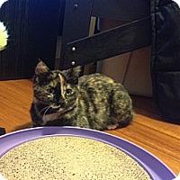 Adopt A Pet :: Mittens - Halifax, NS