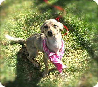 Chihuahua Mix Dog for adoption in El Cajon, California - Sabrina
