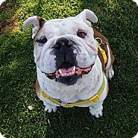 English Bulldog Dog for adoption in Santa Ana, California - Punkinella