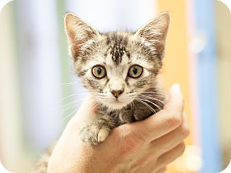 Domestic Shorthair Kitten for adoption in Dallas, Texas - Margay