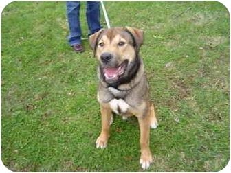 Bullmastiff/Alaskan Malamute Mix Puppy for adoption in Boyertown, Pennsylvania - Moose