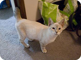 Siamese Kitten for adoption in Marietta, Georgia - Rumble