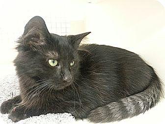 Domestic Mediumhair Kitten for adoption in Germantown, Maryland - Java Chocolate w Raccoon Tail