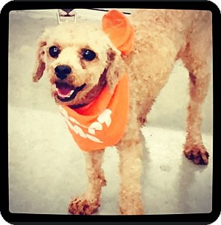 Poodle (Toy or Tea Cup) Dog for adoption in Grand Bay, Alabama - Hector