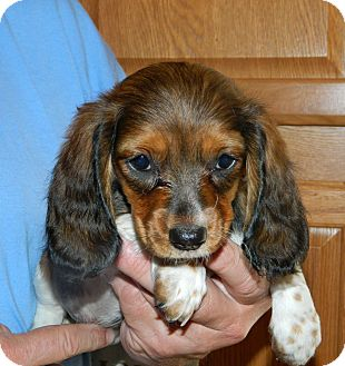 Dachshund Mix Puppy for adoption in Conesus, New York - Chanel