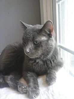 Domestic Shorthair Cat for adoption in Clarkson, Kentucky - Jude