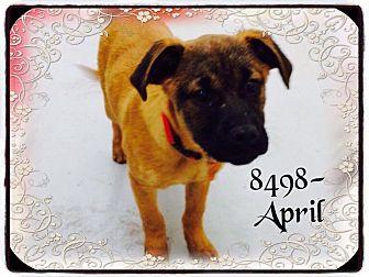 Shepherd (Unknown Type)/Labrador Retriever Mix Dog for adoption in Dillon, South Carolina - April