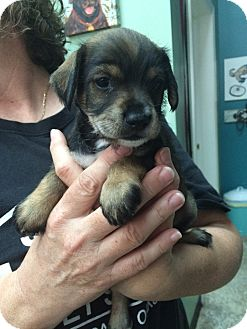 Schnauzer (Miniature) Mix Puppy for adoption in Thousand Oaks, California - Rosita