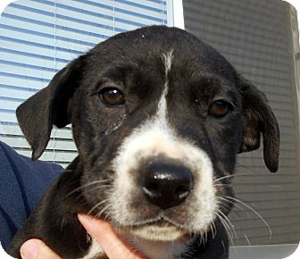 Labrador Retriever/Australian Shepherd Mix Puppy for adoption in Oakley, California - Baby Bliss