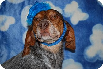 Basset Hound/German Shorthaired Pointer Mix Dog for adoption in Waupaca, Wisconsin - Heart
