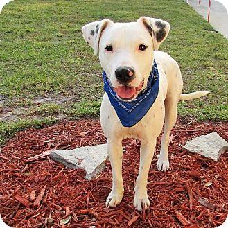 American Bulldog/Dalmatian Mix Dog for adoption in Umatilla, Florida - Blue