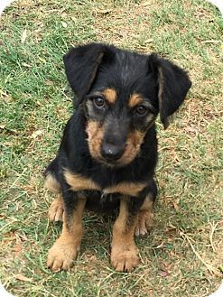 Dachshund/Jack Russell Terrier Mix Puppy for adoption in Menifee, California - Chloe