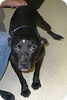 American Pit Bull Terrier Mix Dog for adoption in Eastpoint, Florida - james