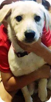 Golden Retriever/Labrador Retriever Mix Puppy for adoption in Oswego, Illinois - I'M ADOPTED Talia Kaperskis