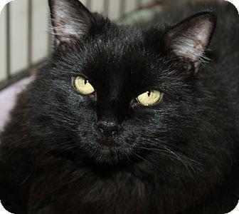 Domestic Longhair Cat for adoption in Marietta, Ohio - Maya (Spayed)-Update 10/1/16