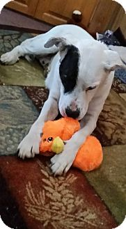 Pit Bull Terrier/Boxer Mix Dog for adoption in Valley Center, California - Rocky