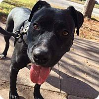 Pit Bull Terrier Mix Dog for adoption in Wichita, Kansas - Raven