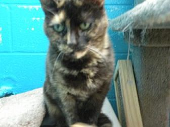 Domestic Shorthair/Domestic Shorthair Mix Cat for adoption in Anderson, Indiana - Lexus