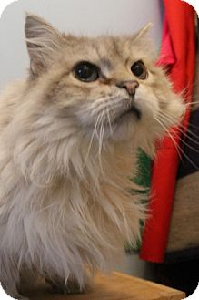 Himalayan Cat for adoption in Richand, New York - Manny