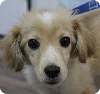 Spaniel (Unknown Type) Mix Puppy for adoption in Washington, D.C. - Bradley