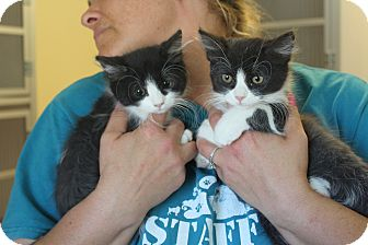 Domestic Mediumhair Kitten for adoption in Yucca Valley, California - Thelma and Louise
