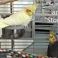 Adopt A Pet :: Sunny and stormy - Villa Park, IL