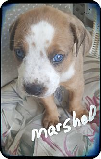 Catahoula Leopard Dog/Boxer Mix Puppy for adoption in Palm Bay, Florida - Marshall ready 7/13/17