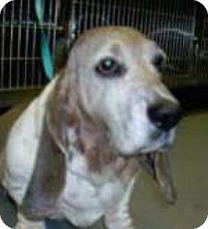 Basset Hound Dog for adoption in Charleston, South Carolina - Daisey Maisey
