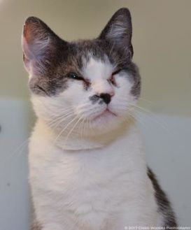 Domestic Shorthair/Domestic Shorthair Mix Cat for adoption in Cleveland, Ohio - Molly