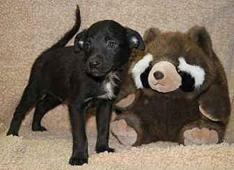Chihuahua Mix Puppy for adoption in Newark, New Jersey - Chalupa