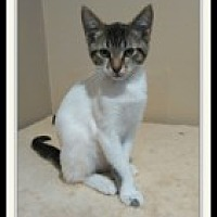 Adopt A Pet :: Coconut - McHenry, IL