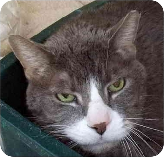 Domestic Shorthair Cat for adoption in Chicago, Illinois - Delbert